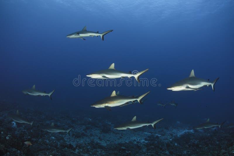 haj för rev för amblyrhynchoscarcharhinus grå royaltyfri bild