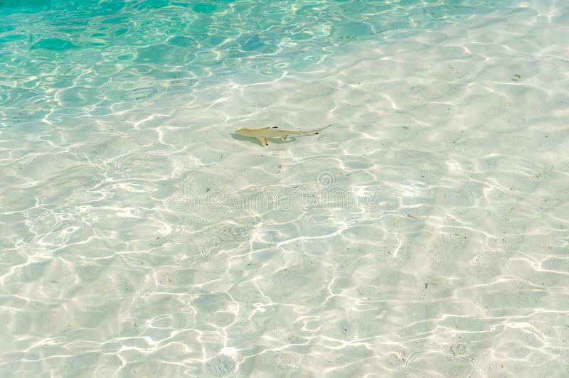 Haj från Maldiverna royaltyfri foto