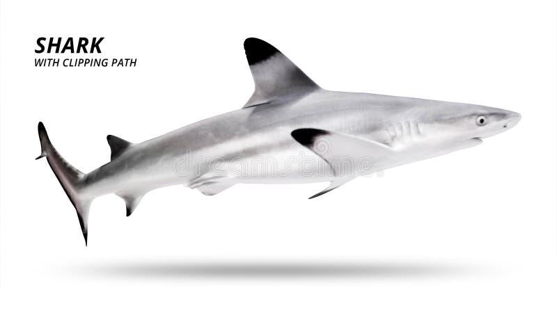 Haj som isoleras p? vit bakgrund Blacktip fisk Snabb bana royaltyfri bild