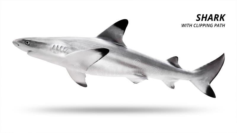 Haj som isoleras p? vit bakgrund Blacktip fisk Snabb bana arkivbilder