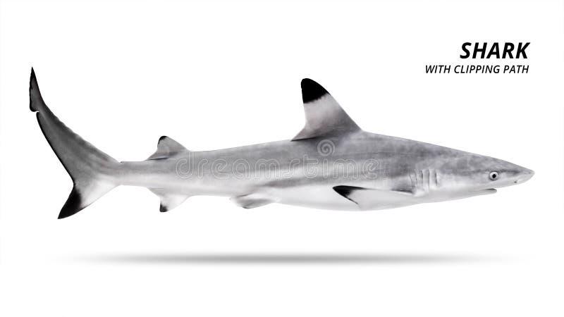 Haj som isoleras p? vit bakgrund Blacktip fisk Snabb bana royaltyfria foton