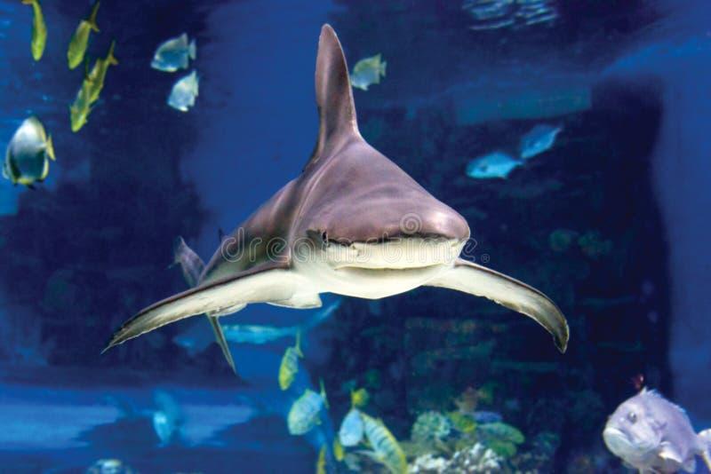 Hajar och liten fisksimning i oceanarium royaltyfri foto