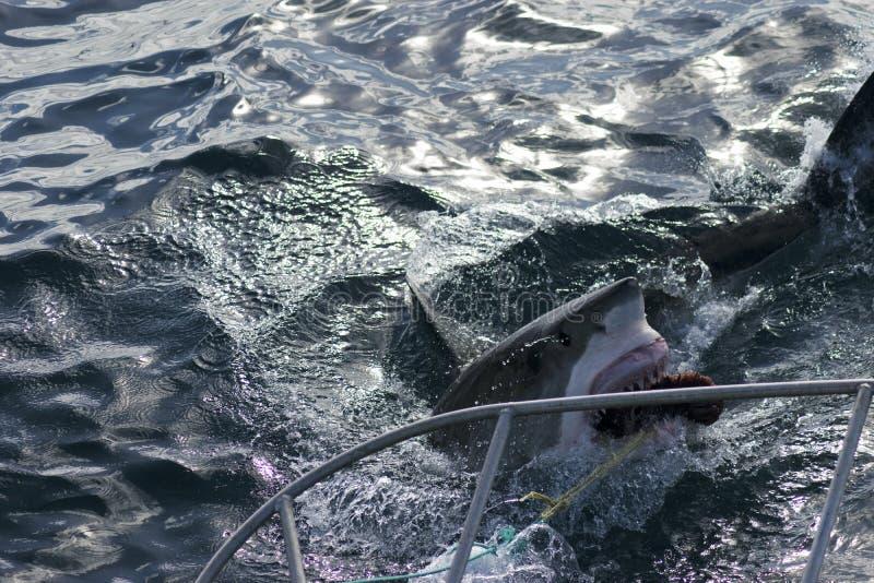 Hajen går för bete, hajburdykning fotografering för bildbyråer