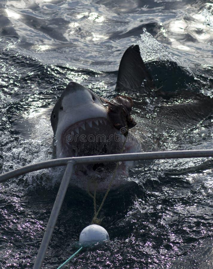 Hajen går för bete, hajburdykning arkivfoton