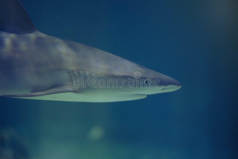 Hajsimning i blått vatten royaltyfri bild