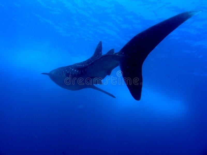hajval fotografering för bildbyråer