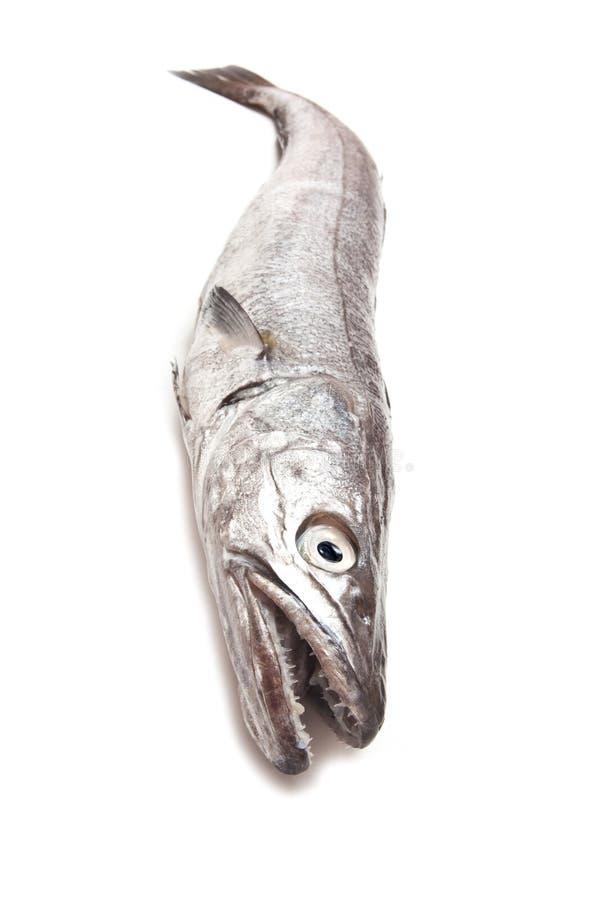 Hake fish. stock images