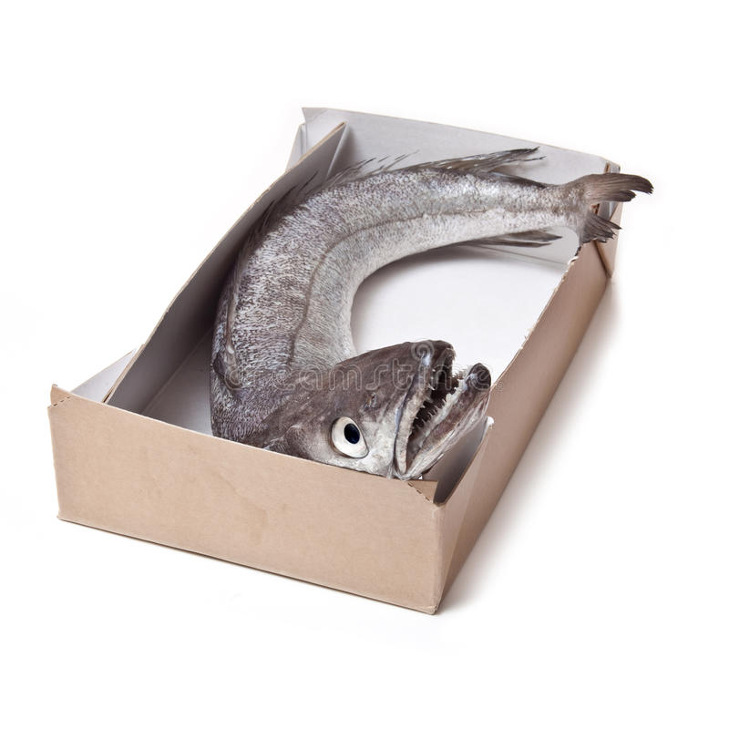 Hake fish whole. royalty free stock photo