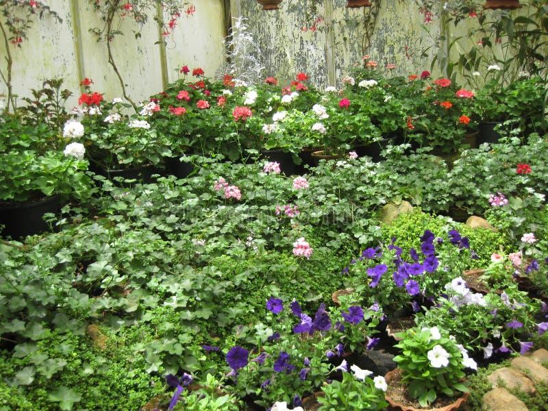 Hakgala flower garden in Sri Lanka royalty free stock photography