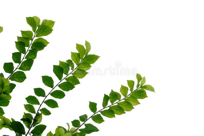 Hakka herbaciana roślina opuszcza z gałąź na białym odosobnionym tle dla zielonego ulistnienia tła obrazy royalty free
