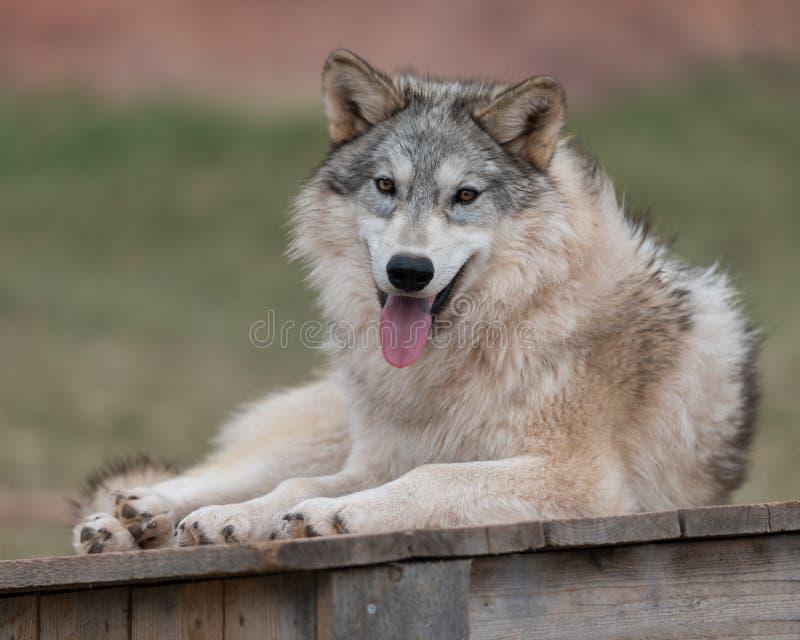 Halètement de loup de bois de construction photographie stock libre de droits