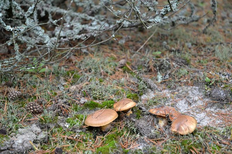 Hal stålarSuillusluteus L Grå färger växer bland en mossa och laver arkivbild