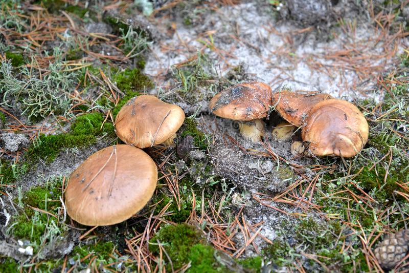 Hal stålarSuillusluteus L Grå färger växer på familjen i det barrträds- trät royaltyfri fotografi