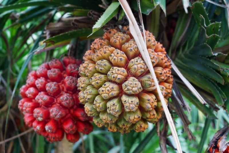 Hala果子关闭,异乎寻常的热带水果 库存图片