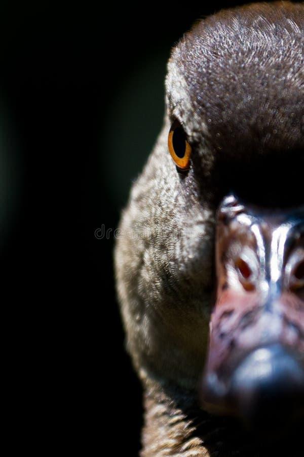 Halb-gesichtiges Duck Portrait lizenzfreie stockbilder