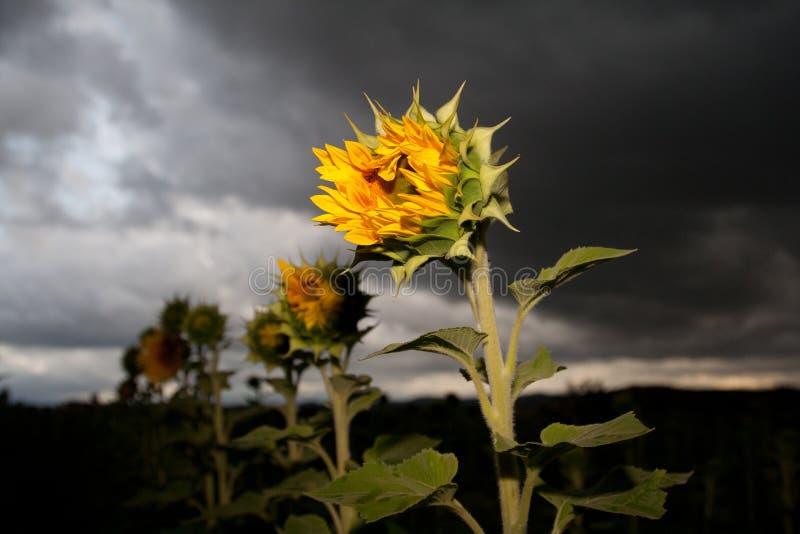 Halb offene Sonnenblume lizenzfreie stockbilder