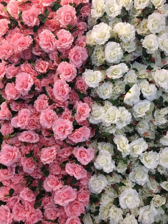 Halbe Hälfte der Schönheit von rosa und von weißem durch Gewebe stockbilder