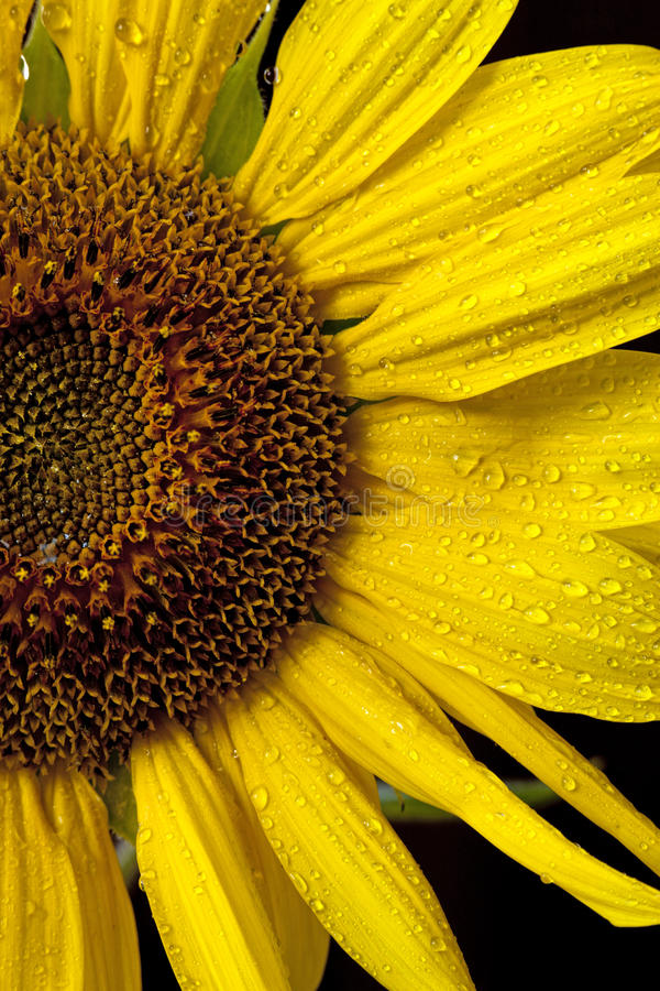 Halber Schuss der Sonnenblume. stockfoto
