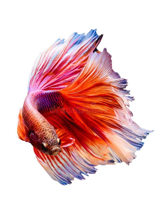 Halbmond des Siamesischen Kampffisches lizenzfreie stockfotografie