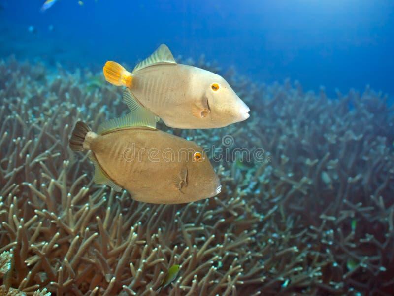 Halbmond Triggerfishes lizenzfreie stockfotografie