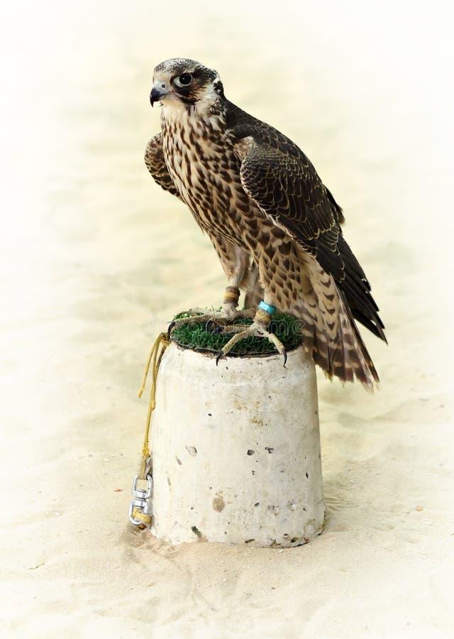 Halcón árabe de la caza imágenes de archivo libres de regalías
