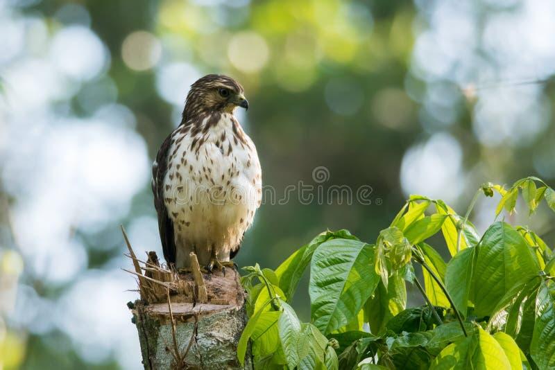 halcón Amplio-con alas fotos de archivo