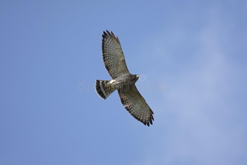 halcón Amplio-con alas en vuelo fotos de archivo libres de regalías