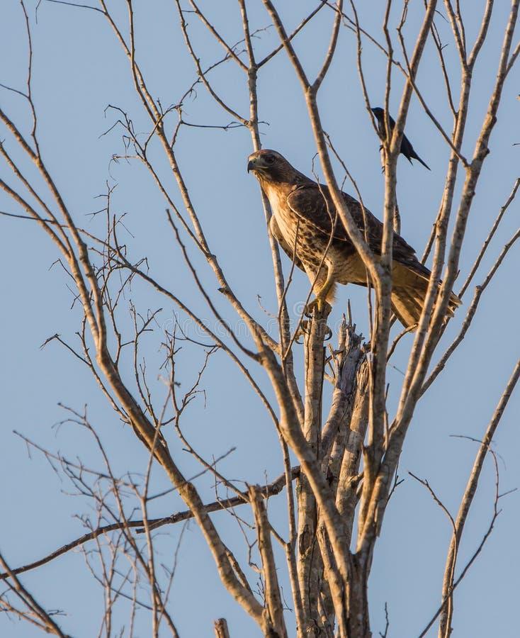 halcón Amplio-con alas encaramado en árbol fotos de archivo
