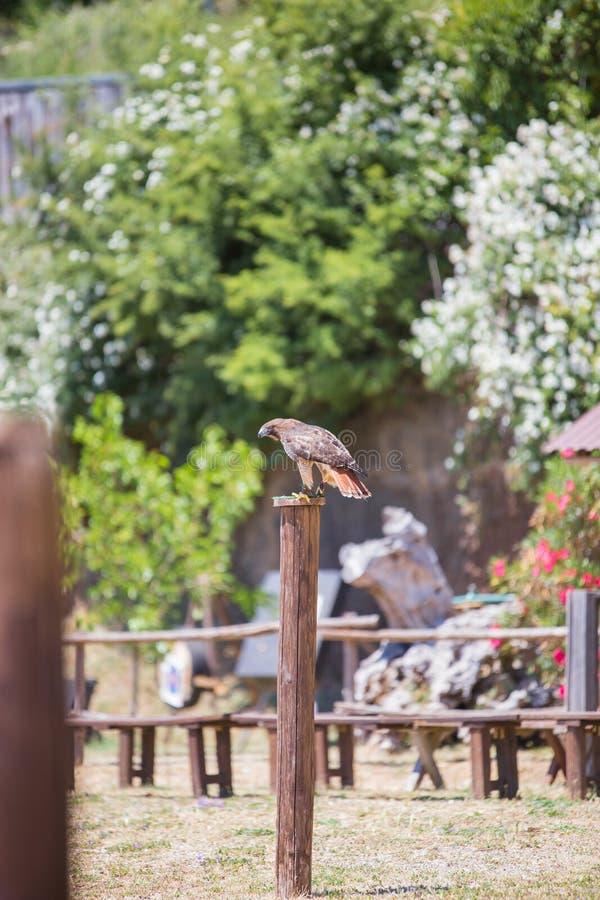 Halcón - Buteo - halcón del ` s de Harris fotos de archivo