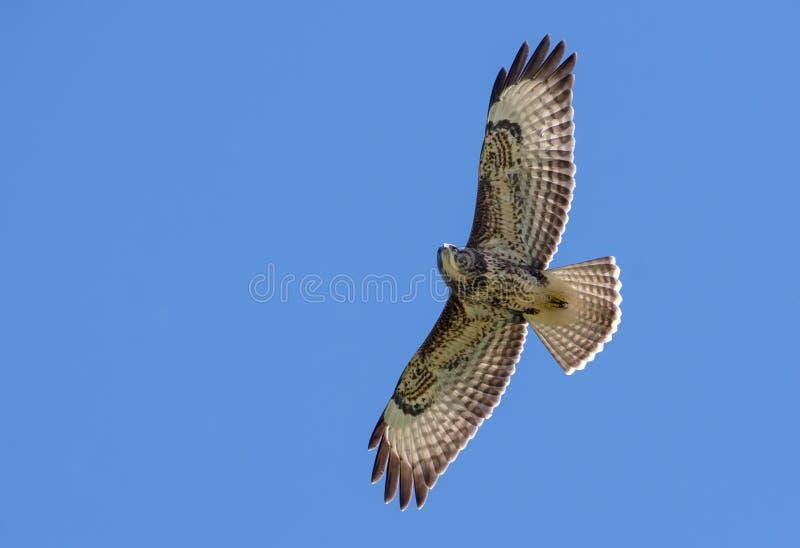 Halcón común en vuelo debajo del cielo azul fotografía de archivo
