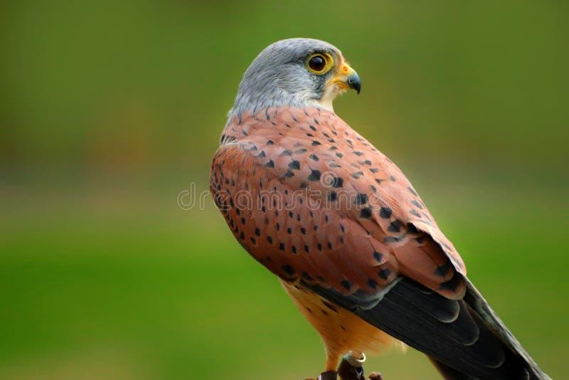 Halcón de gorrión de Falco del pájaro, cernícalo americano fotografía de archivo