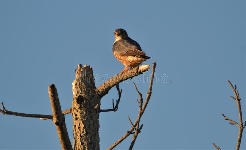 Halcón de MERLIN que se sienta en árbol en la puesta del sol foto de archivo libre de regalías