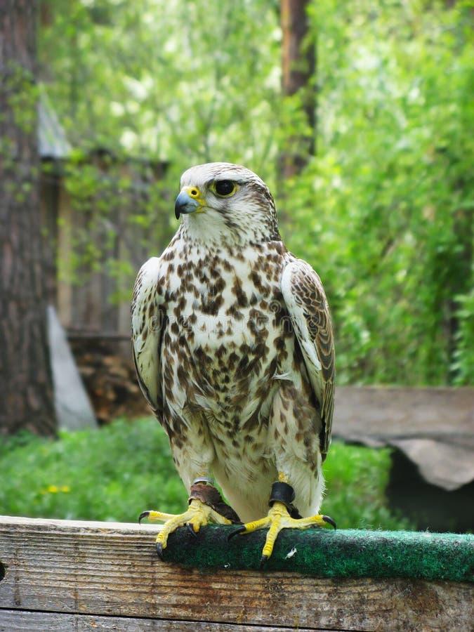 Halcón de Saker (cherrug de Falco) fotos de archivo libres de regalías