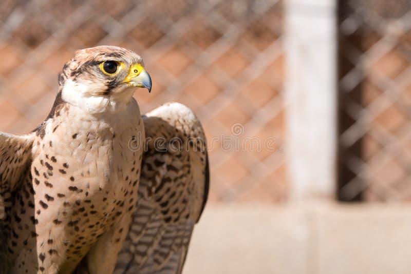 Halcón de Saker Cherrug de Falco Halcón cercano para arriba en árabe imágenes de archivo libres de regalías