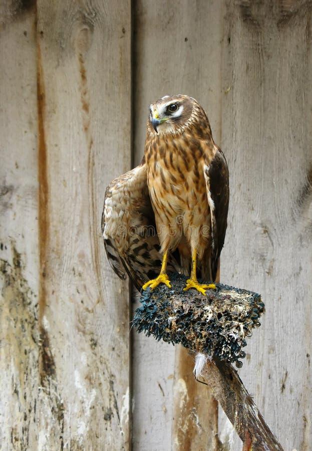 Halcón de Saker (cherrug del Falco) fotos de archivo libres de regalías