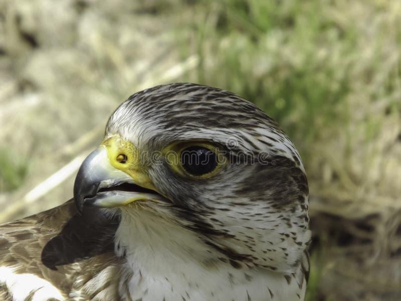 Halcón de Saker (cherrug del Falco) fotografía de archivo libre de regalías