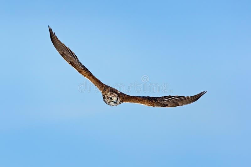 Halcón de Saker, cherrug de Falco, pájaro de la mosca de la presa Cielo azul en invierno frío, animal en el hábitat de la natural fotografía de archivo