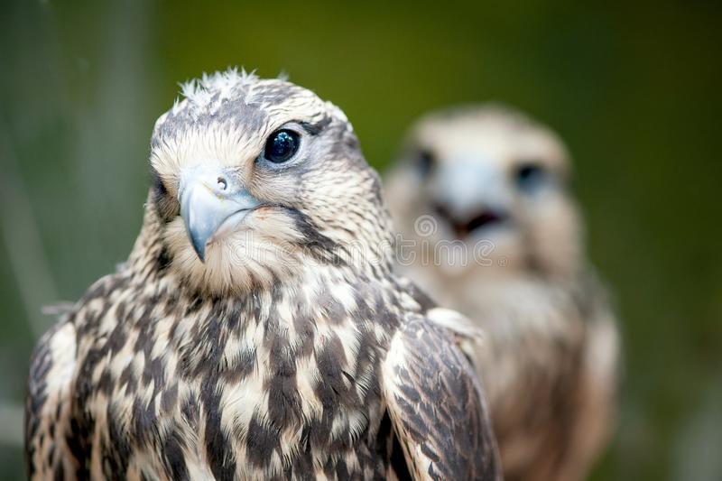 Halcón de Saker, cherrug de Falco, retrato del primer Aves rapaces fotos de archivo