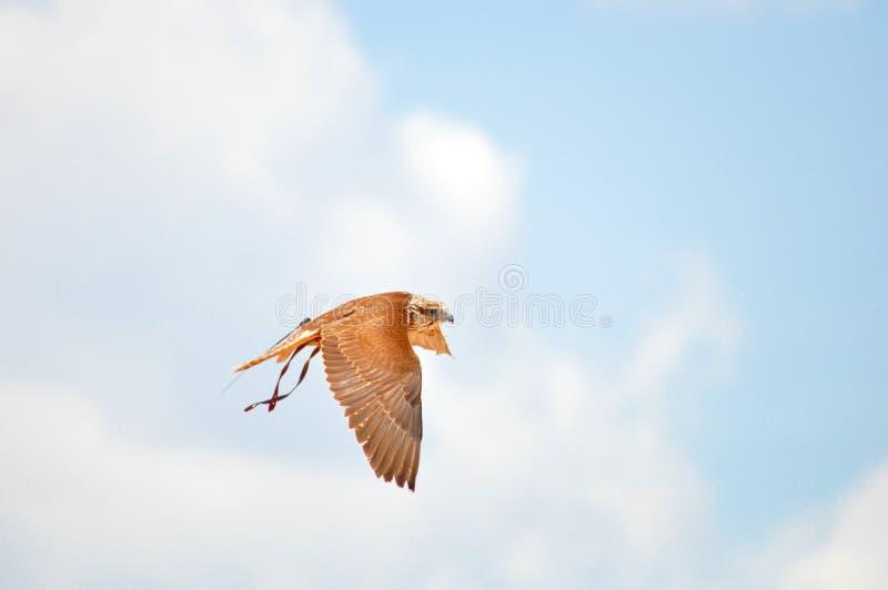 Halcón de Saker, halcón de peregrino, exposición de la cetrería imagen de archivo