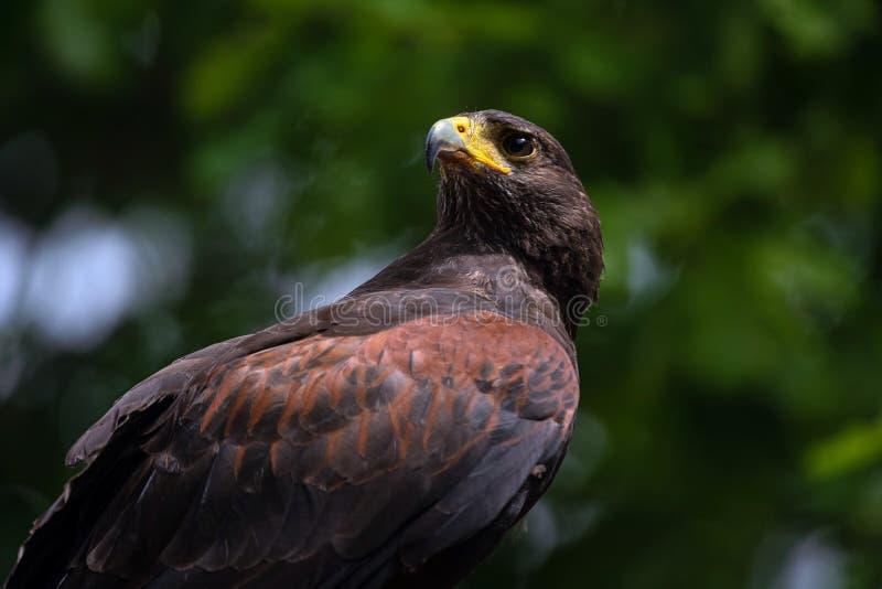 Halcón del marrón del peregrino que mira la presa Cercano para arriba del halcón del saker aislado en fondo verde al aire libre fotos de archivo libres de regalías