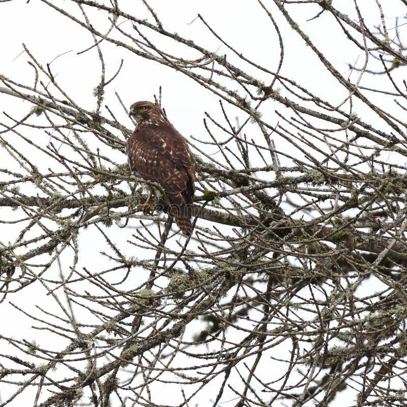 Halcón del Redtail encaramado en un árbol imagenes de archivo