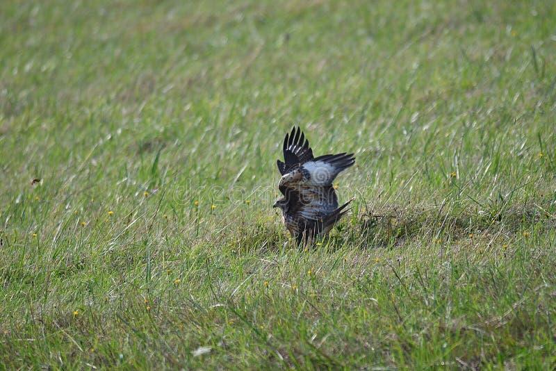 Halcón depredador del pájaro imagen de archivo