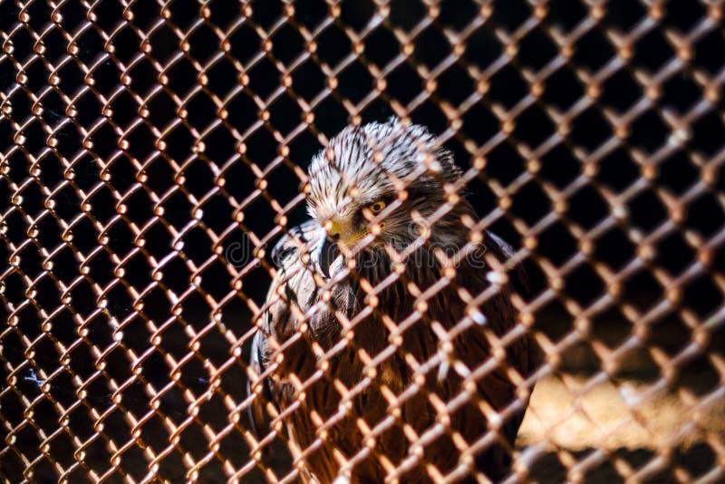 Halcón en la jaula del parque zoológico El p?jaro de ruega foto de archivo libre de regalías
