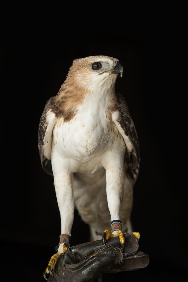 Halcón en la mano del halconero imagenes de archivo