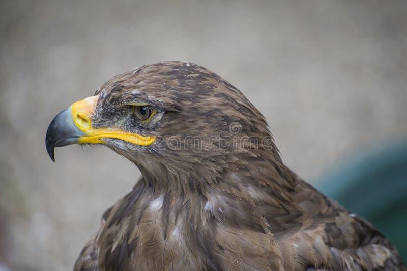 Halcón joven en cautiverio en parque zoológico en día de verano fotografía de archivo libre de regalías