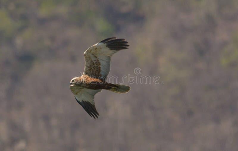 halcón, que está volando foto de archivo