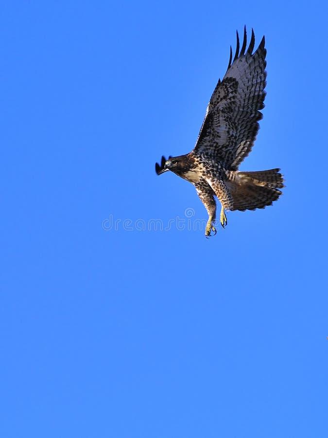 halcón Rojo-atado en vuelo foto de archivo