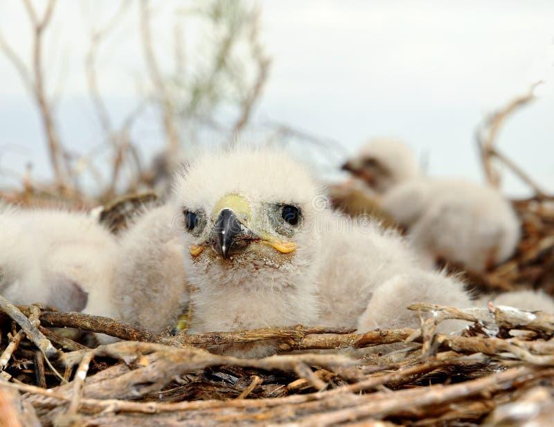 Halcón zanquilargo del pequeño polluelo foto de archivo