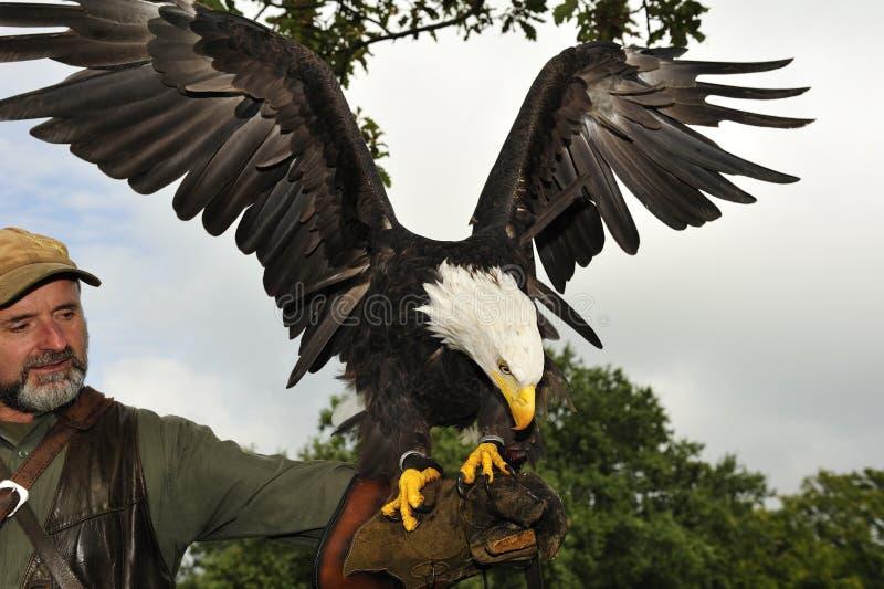Halconero con el águila calva fotos de archivo