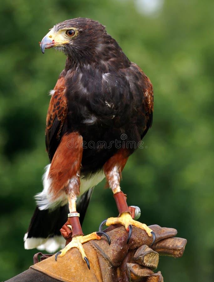 Halconero con el ave rapaz imagen de archivo